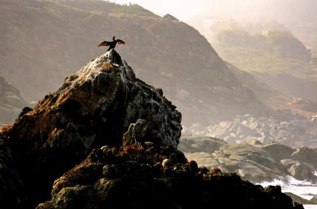 pato-negro-tunquen