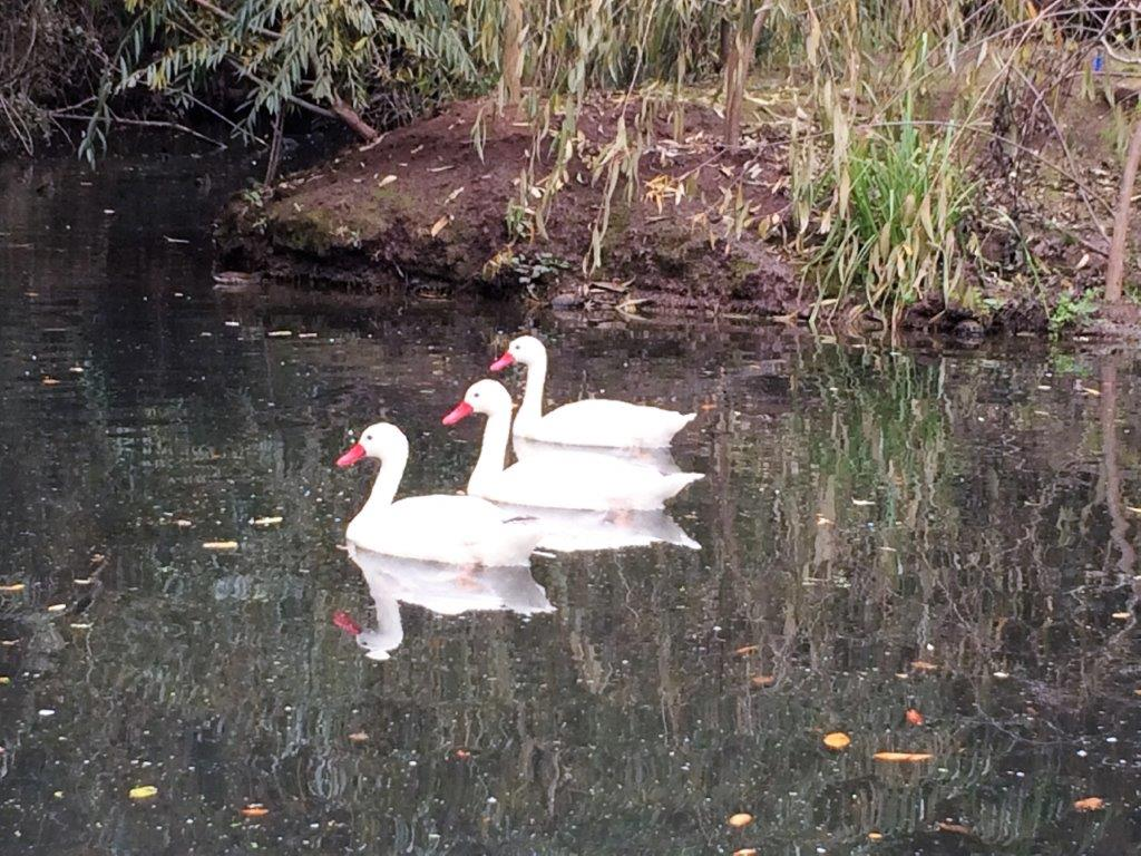 cisnes-parque-tricao